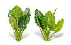 Elephant ear plant or caladium tree isolated on white background. Alocasia macrorrhizos. File contains a clipping path royalty free stock photos