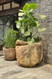 Elephant ear plant (Colocasia). Found blooming colourfully here in these plant pots in Cheng Du, China royalty free stock photo