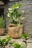Elephant ear plant (Colocasia). Large leaves collecting sunlight, here in these plant pots in Cheng Du, China royalty free stock photography