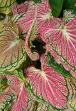 Elephant ear plant background. Elephant ear plant colourful background stock images