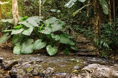 Elephant ear plant in forest.  royalty free stock photo
