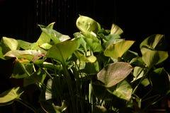 Elephant-ear plant got rain at night. Night rain drop on elephant-ear plant royalty free stock photos