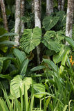 Elephant Ear Plant. Growing in the tropical forest at Singapore Botanical Garden royalty free stock photos