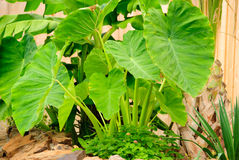 Elephant Ear Plant Royalty Free Stock Photo
