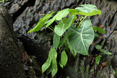 Elephant ear plant. Grows on rocks royalty free stock photos