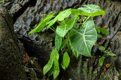 Elephant ear plant. Grows on rocks stock image