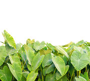 Elephant Ear plant Royalty Free Stock Photography