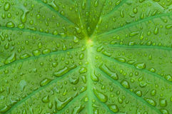 Elephant ear plant with morning dew dropplets Royalty Free Stock Photo
