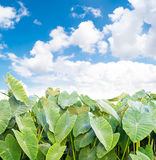 Elephant Ear plant. On sky and clouds background stock photo