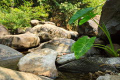 Elephant ear plants with waterway background. Royalty Free Stock Photos