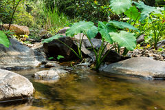 Elephant ear plants with waterway background. Stock Photo