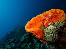 Elephant Ear Sponge. Wide-angle shot of an orange Elephant Ear sponge Stock Photography