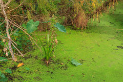 Elephant Ear Swamp. An elephant ear plant lives in the brackish water in the lake at The Meadows Center for Water and the Environment in San Marcos, Texas, USA stock photo