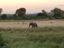 Elephant at Sunrise. Distant roaming lonely elephant grazing at sunrise in Chirundu, Zimbabwe, Africa Stock Image