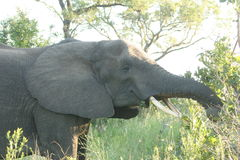 Elephant early morning. The elephant was in the Reserve. He was eating fresh leaves Royalty Free Stock Photography