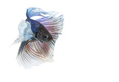 Elephant Ears Betta fish, Blue and White Halfmoon Betta splendens. Or siamese fighting fish isolated on white background Royalty Free Stock Images