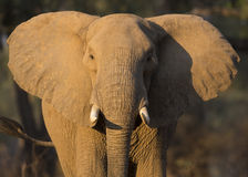 Elephant ears. Close up front view portrait of an African Elephant (Loxodonta africana Stock Photos