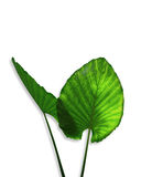 Elephant ears plant Colocasia esculenta stock photo