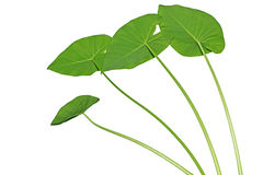 Elephant Ears Taro Leaves Stock Image