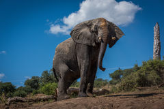 Elephant on earth bank beside dead tree Stock Images