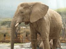 Elephant , eastern Bohemia. Czech Republic stock images