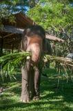 Elephant eat grass. At elephant Elephant Nature Reserve Park in Chinangmai Thailand royalty free stock photo