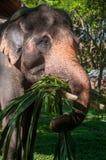 Elephant eat grass. At elephant Elephant Nature Reserve Park in Chinangmai Thailand Royalty Free Stock Images
