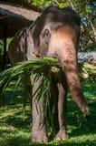 Elephant eat grass. At elephant Elephant Nature Reserve Park in Chinangmai Thailand Royalty Free Stock Photos