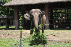 Elephant eat grass. In the zoo royalty free stock photo