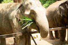 Elephant eat grass at the zoo. Thailand Royalty Free Stock Image