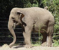 Elephant Eating. Photo of Elephant Eating royalty free stock photo