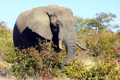 An elephant eating. A big male elephant eating in the Kruger National Park. South Africa stock photography