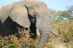 An elephant eating. A big male elephant eating in the Kruger National Park. South Africa stock images