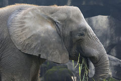An Elephant Eating. An African Elephant eating some vegetation royalty free stock photography
