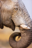 Elephant eating. Close-up of a Elephant eating a piece of thorn branch; Loxodonta Africana; Etosha Stock Images