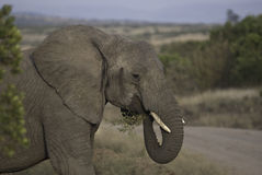 Elephant eating Royalty Free Stock Images