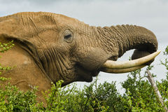 Elephant eating Stock Photos