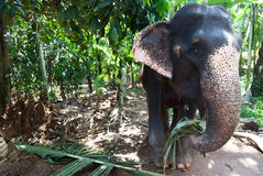Elephant eating Royalty Free Stock Images