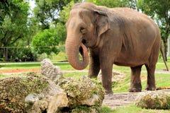 Elephant Eating Royalty Free Stock Photos