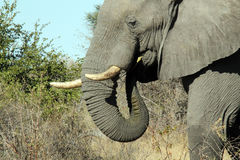 Elephant Eating. Khwai River, Botswana Royalty Free Stock Images