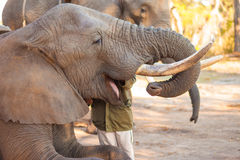Elephant eating Stock Image