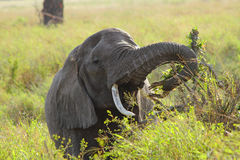 Elephant Eating Royalty Free Stock Image
