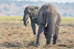 Elephant eating Stock Images