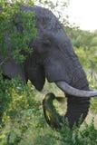 Elephant eating. Grass Stock Image