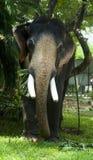 Elephant eating. A domesticated Indian elephant eats in Kochi (Cochin), Kerala, India Royalty Free Stock Image