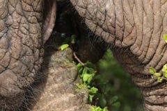 Elephant eating Royalty Free Stock Photography