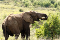 Elephant Eating Again. Addo Elephant National Park is a diverse wildlife conservation park situated close to Port Elizabeth in South Africa stock photography