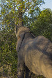 Elephant eating in the bush 5 Stock Images