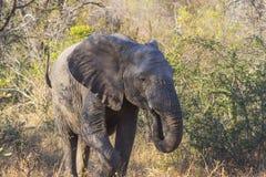Elephant eating in the bush 6 Stock Image