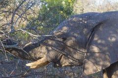 Elephant eating in the bush 8 Stock Photo